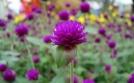 Các bài thuốc chữa ho từ hoa