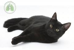 Ăn thịt mèo đen có chữa được hen không