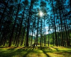 Đi bộ trong rừng thông có thể khiến bệnh nhân hen suyễn dễ chịu hơn